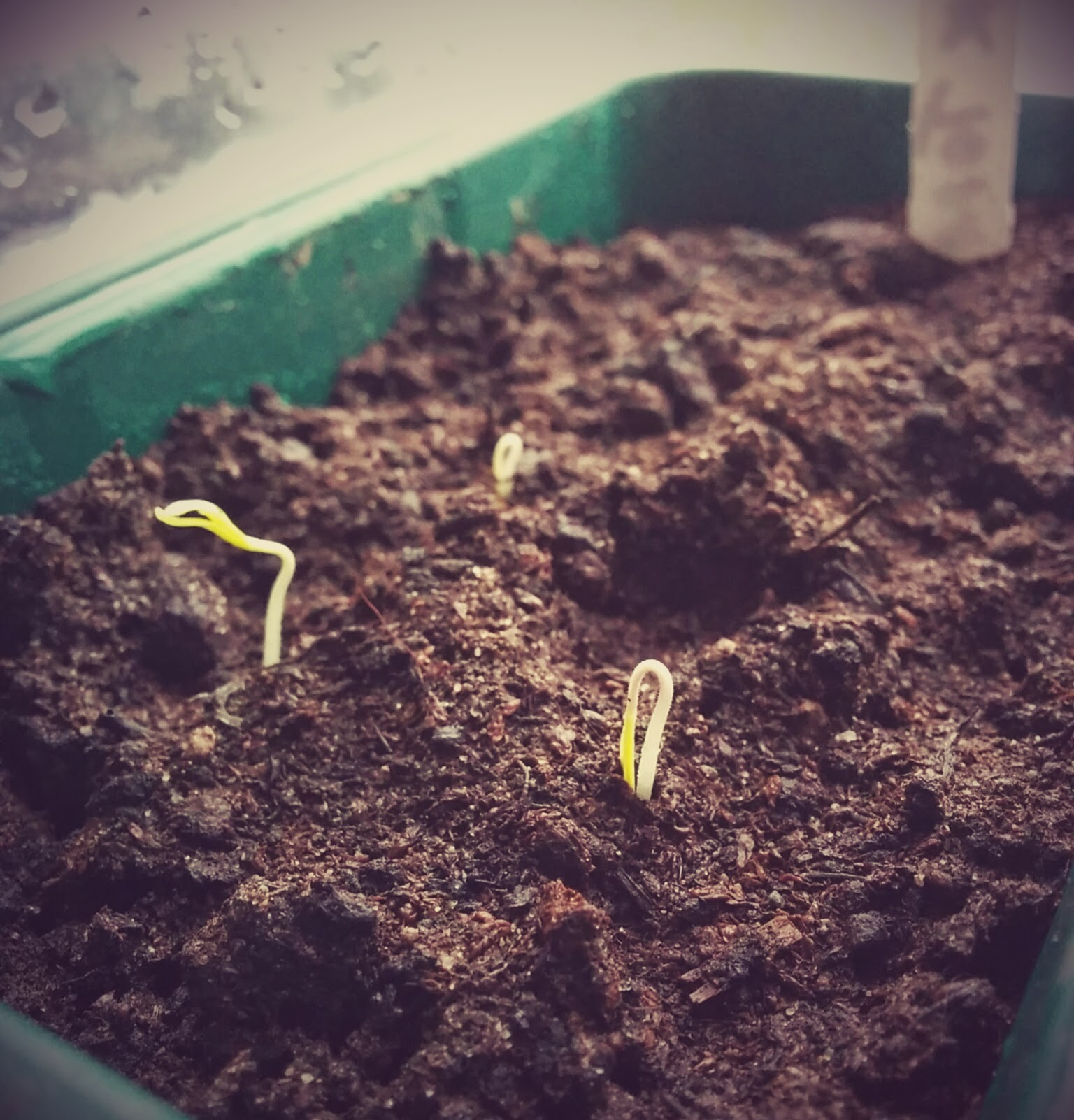Germinating tomato seeds
