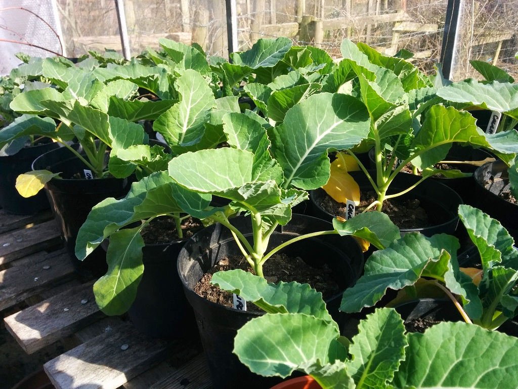 Broccoli and cauliflower plants