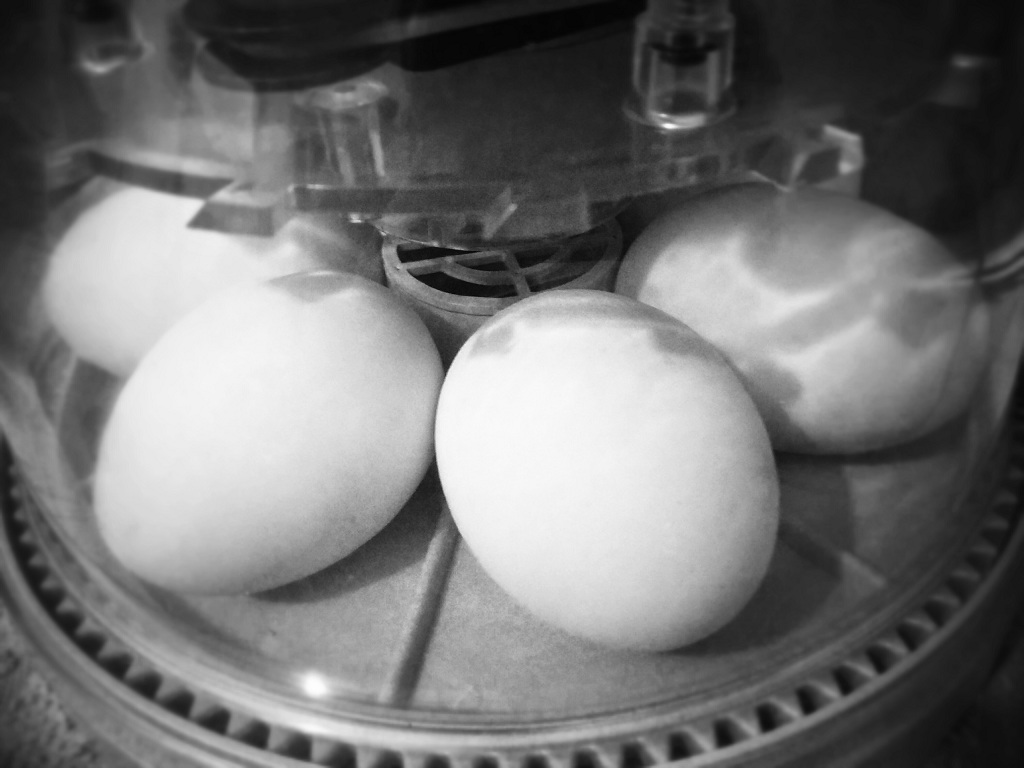 Duck eggs in the incubator