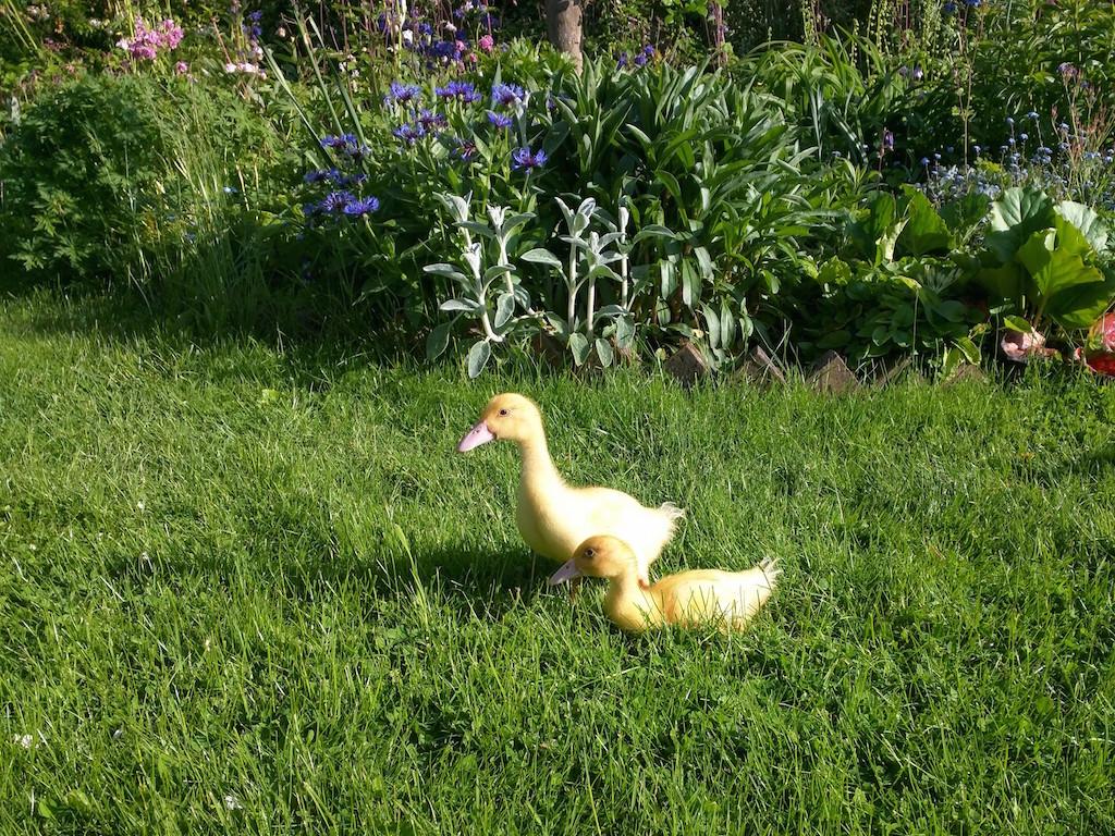 Free range ducklings