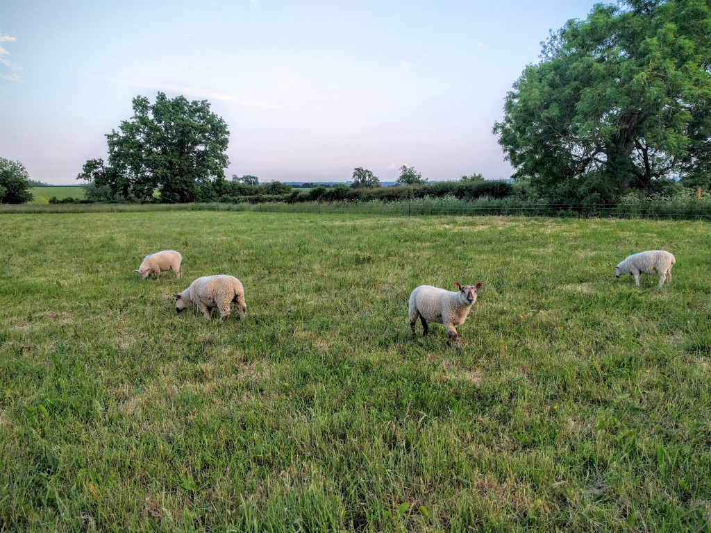 Lambs in the field