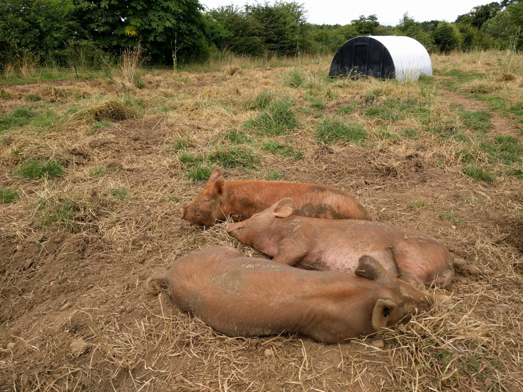 Contented pigs